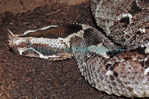 Rhinoceros Viper Bitis Nasicornis Australian Reptile Park New South Wales Australia